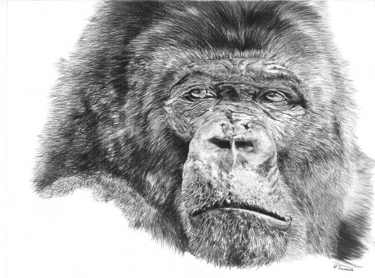 Drawing of gorilla by Laurence Saunois, Animal Artist