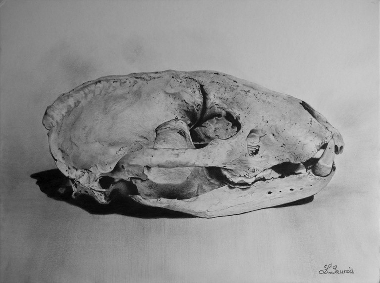 Drawing of a Badger Skull by Laurence Saunois, animal artist