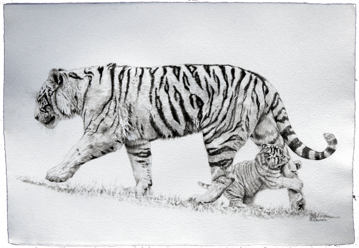 Drawing of tigers by Laurence Saunois, animal artist by Laurence Saunois, animal artist