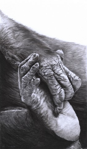 Drawing of foot and hand of bonobo by Laurence Saunois, Animal Artist