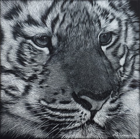 Scratchboard of tiger by Laurence Saunois, animal artist
