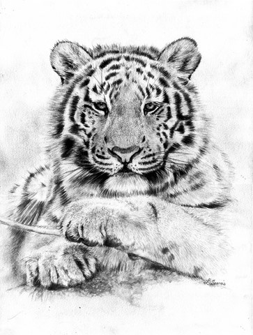 Drawing of tiger by Laurence Saunois, animal artist