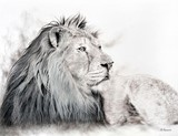 Drawing of Asian Lion by Laurence Saunois, animal artist by Laurence Saunois, animal artist