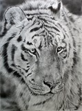Drawing of tiger by Laurence Saunois, animal artist by Laurence Saunois, animal artist