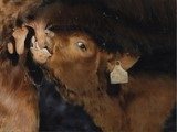 Calf painting by Laurence Saunois, animal artist